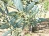 fleurs-olivier