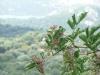 fleur-de-sureau-balagne