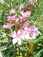 fleurs-laurier