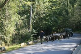 goat-herding-2
